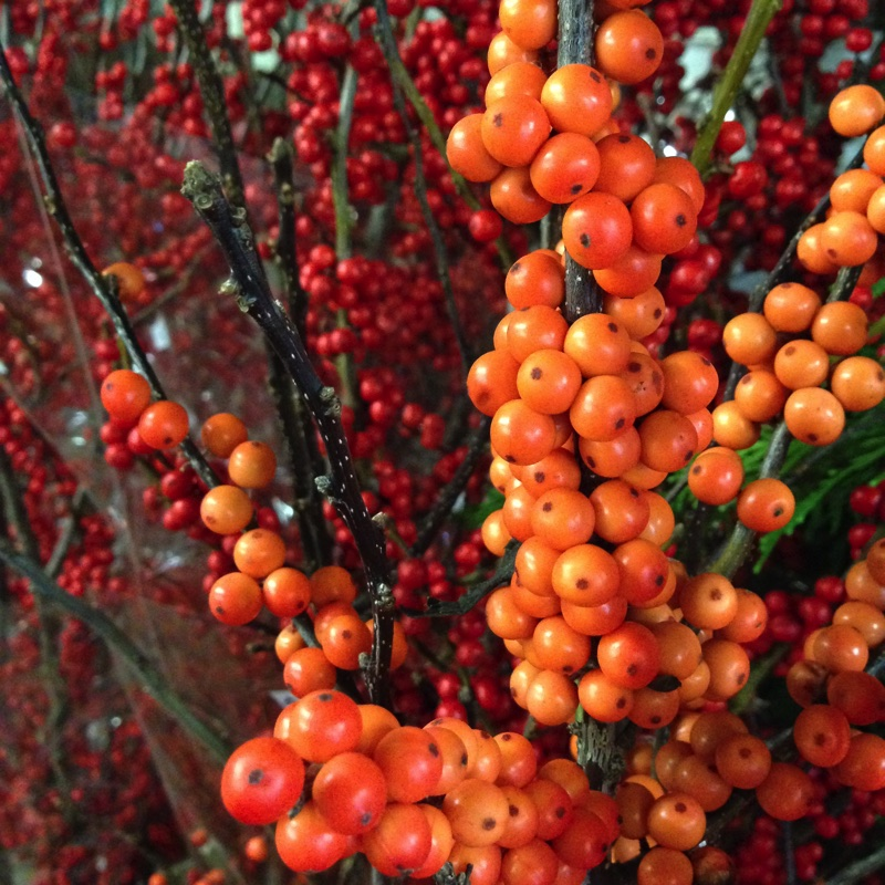 November feature ilex_sq