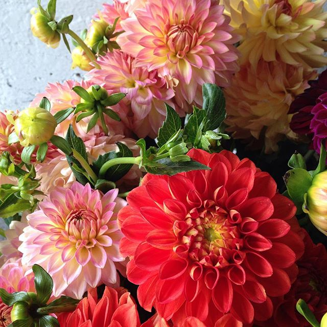 August feature dahlias