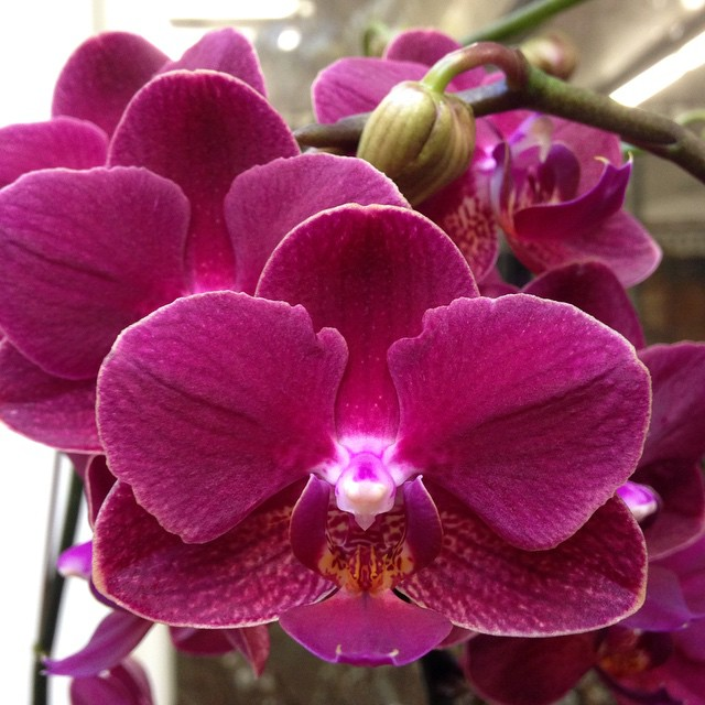 January feature phalaenopsis orchid