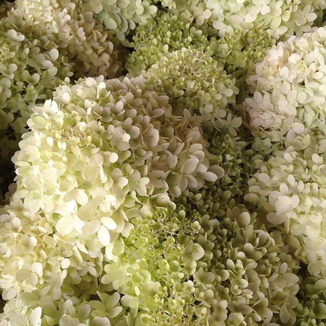 July feature limelight hydrangea